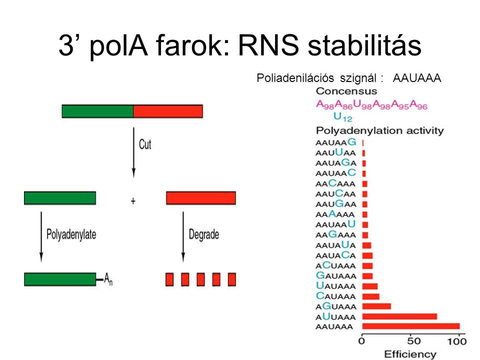 3' polA farok: RNS stabilitás