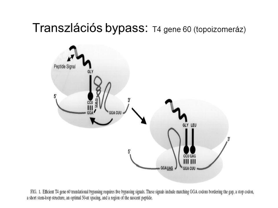 Transzlációs bypass: T4 gene 60 (topoizomeráz)