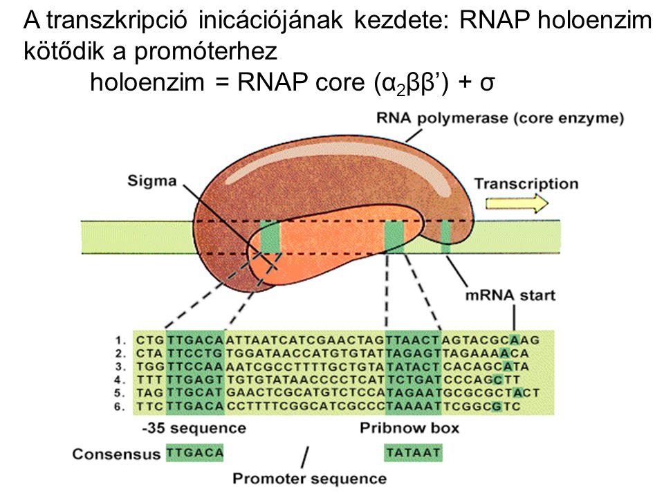 A transzkripció inicációjának kezdete: RNAP holoenzim kötődik a promóterhez