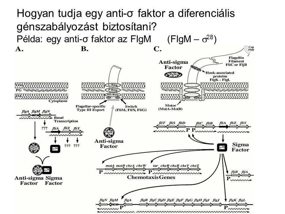 Hogyan tudja egy anti-σ faktor a diferenciális génszabályozást biztosítani