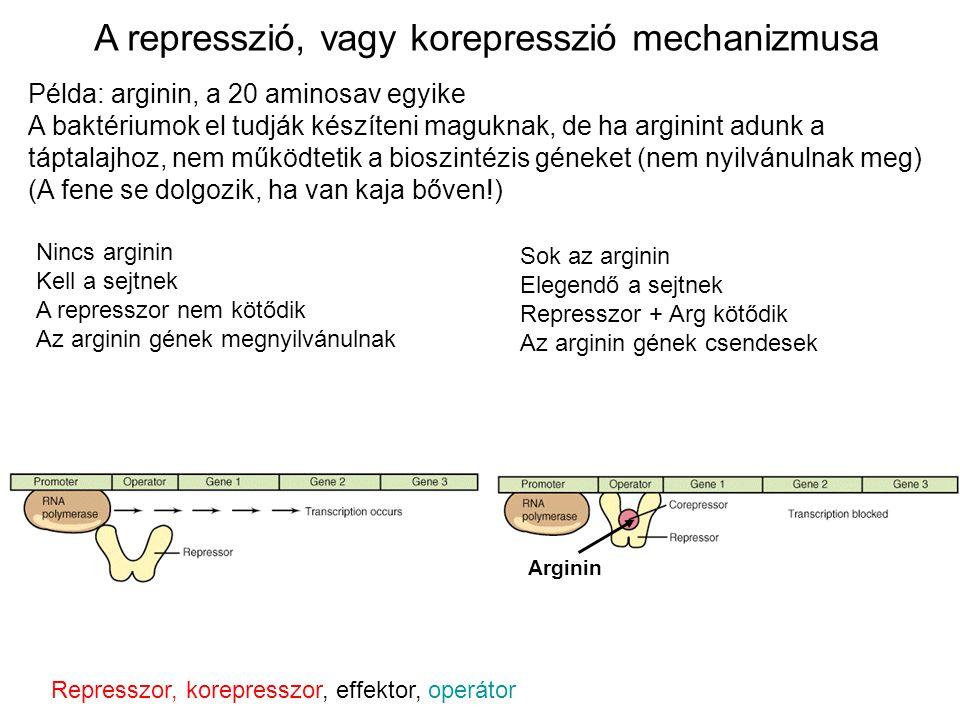 A represszió, vagy korepresszió mechanizmusa