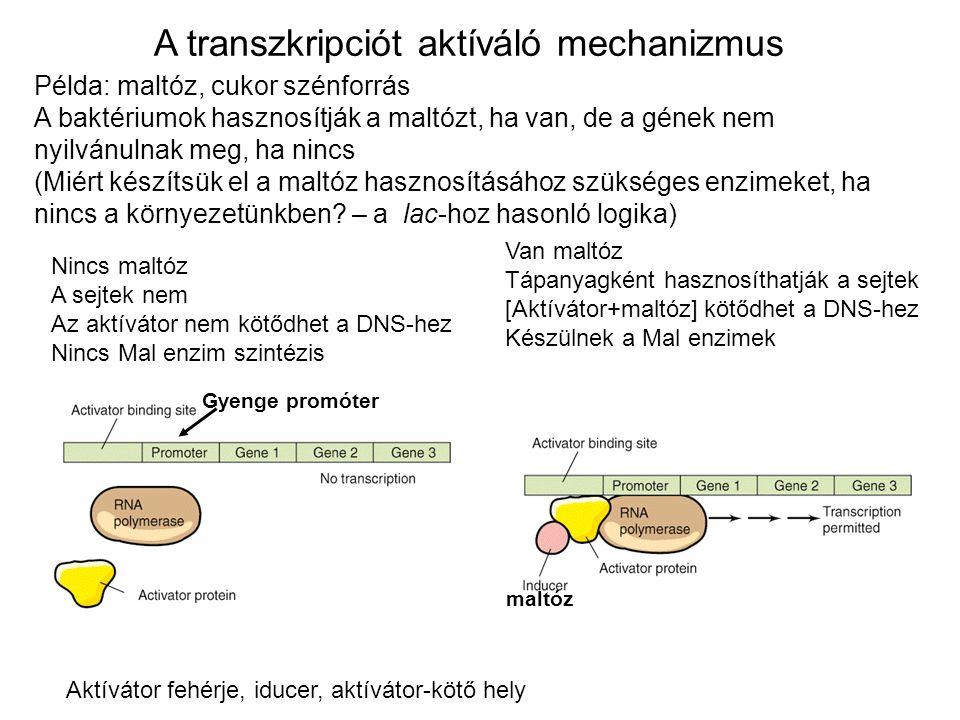 A transzkripciót aktíváló mechanizmus