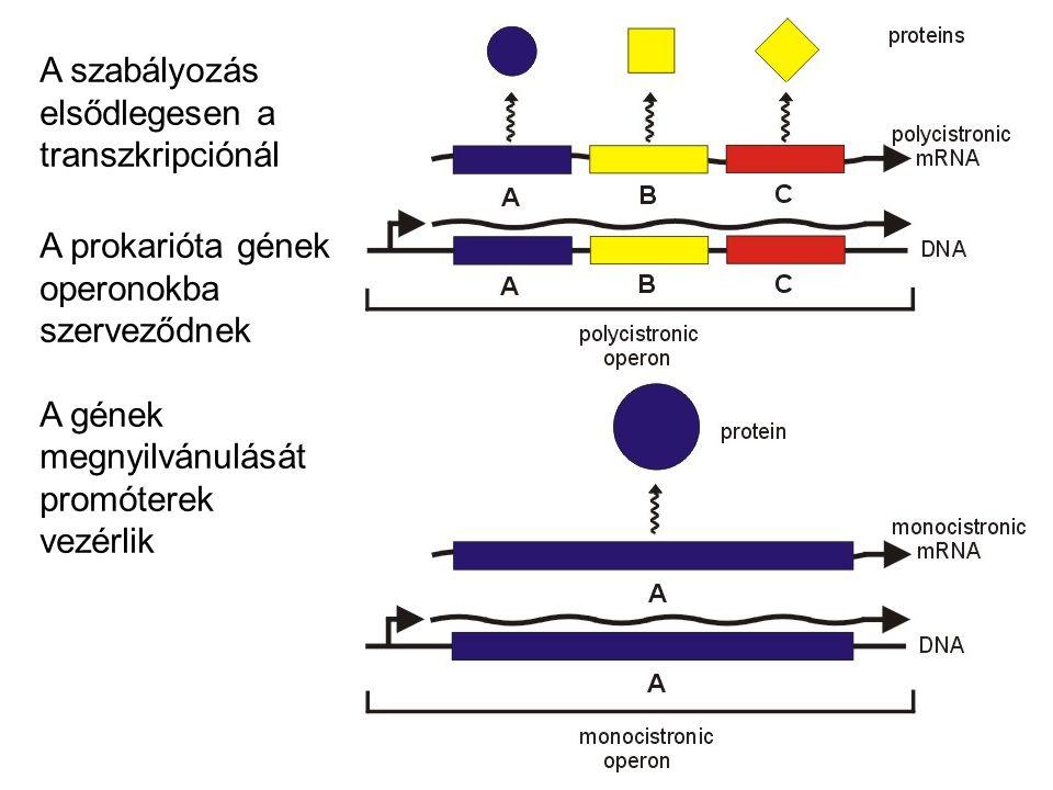 A szabályozás elsődlegesen a transzkripciónál