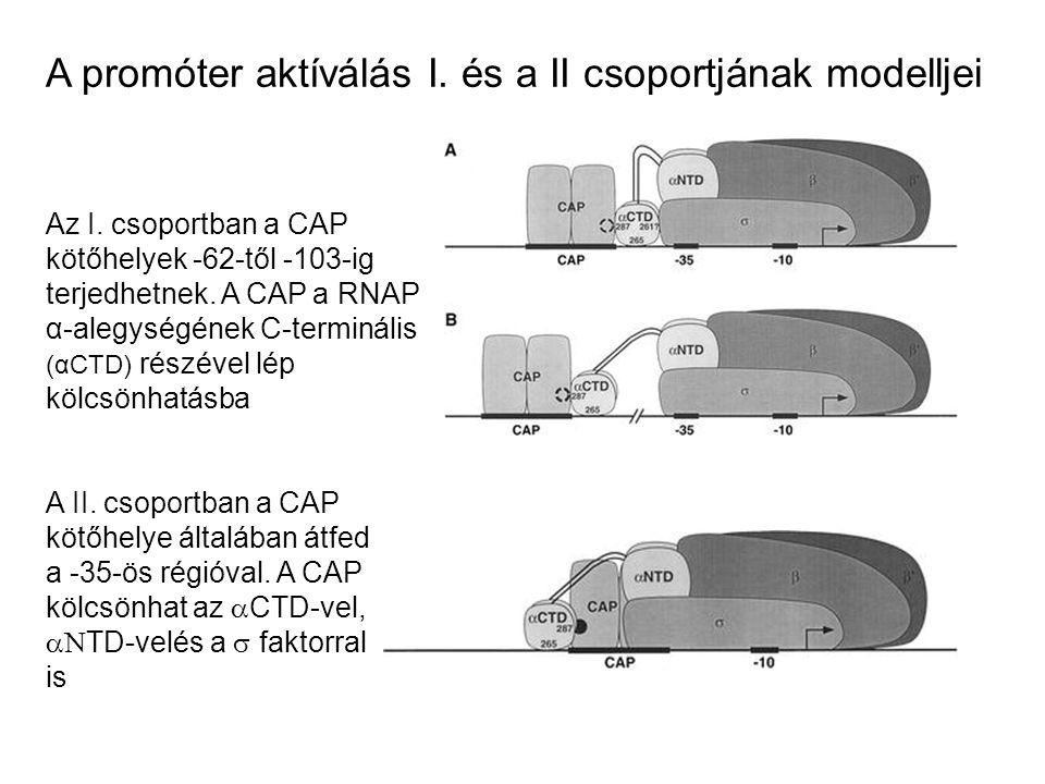 A promóter aktíválás I. és a II csoportjának modelljei