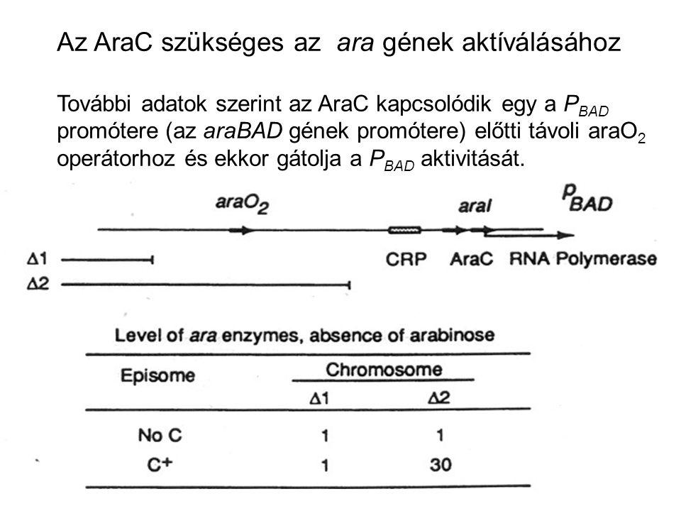 Az AraC szükséges az ara gének aktíválásához