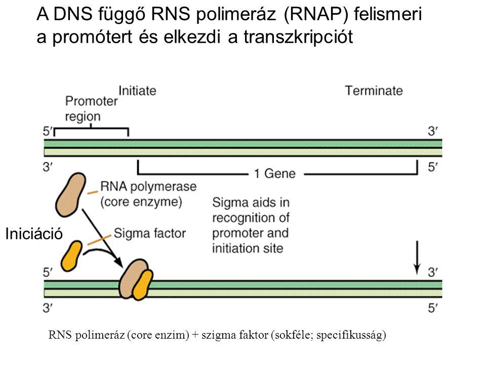 A DNS függő RNS polimeráz (RNAP) felismeri a promótert és elkezdi a transzkripciót