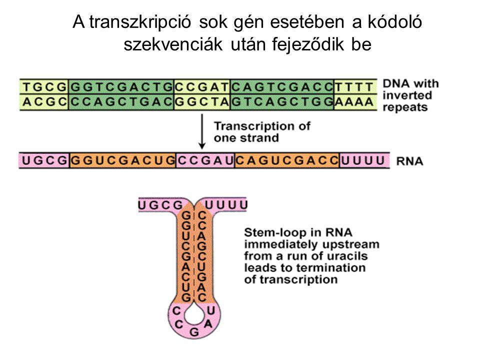 A transzkripció sok gén esetében a kódoló szekvenciák után fejeződik be