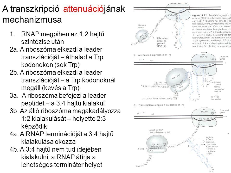 A transzkripció attenuációjának mechanizmusa