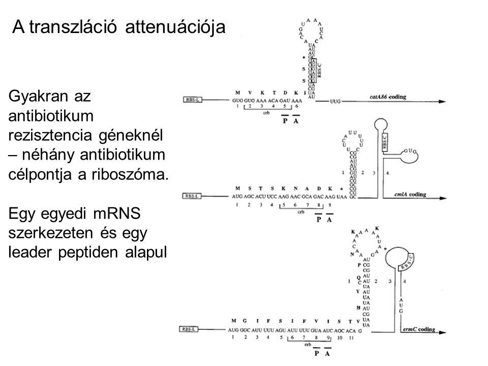 A transzláció attenuációja
