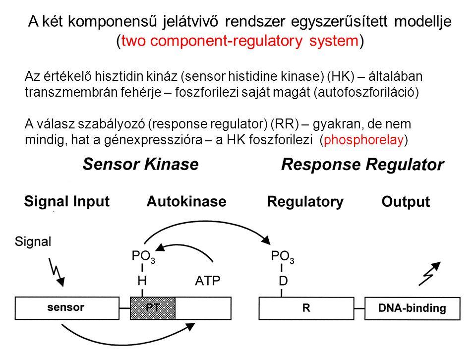 A két komponensű jelátvivő rendszer egyszerűsített modellje (two component-regulatory system)