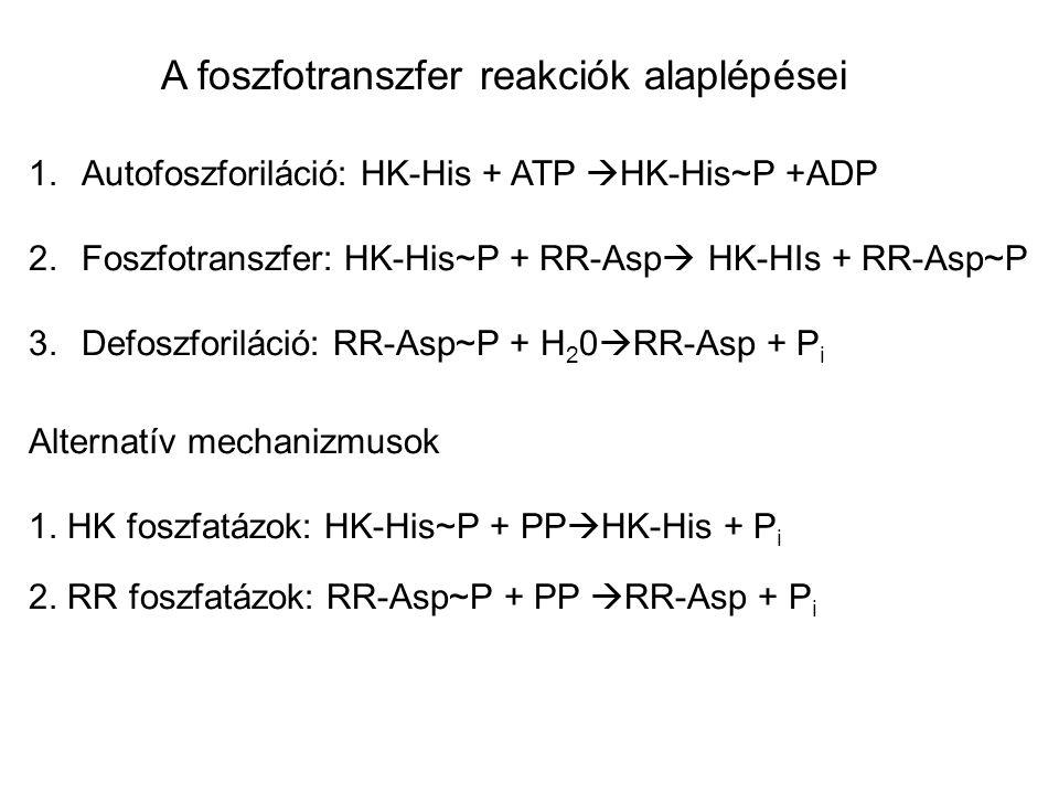 A foszfotranszfer reakciók alaplépései
