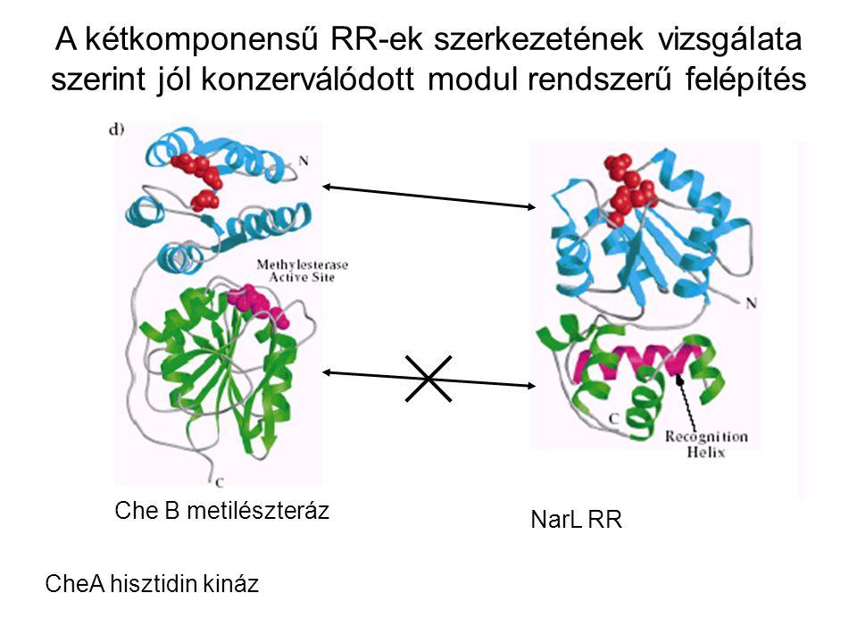 A kétkomponensű RR-ek szerkezetének vizsgálata szerint jól konzerválódott modul rendszerű felépítés