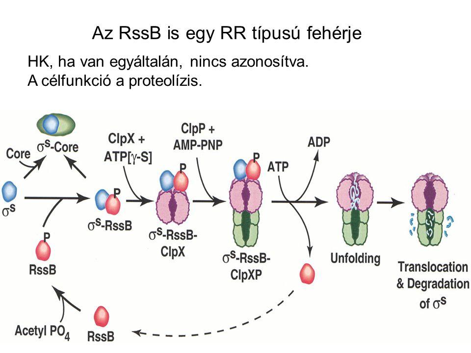 Az RssB is egy RR típusú fehérje
