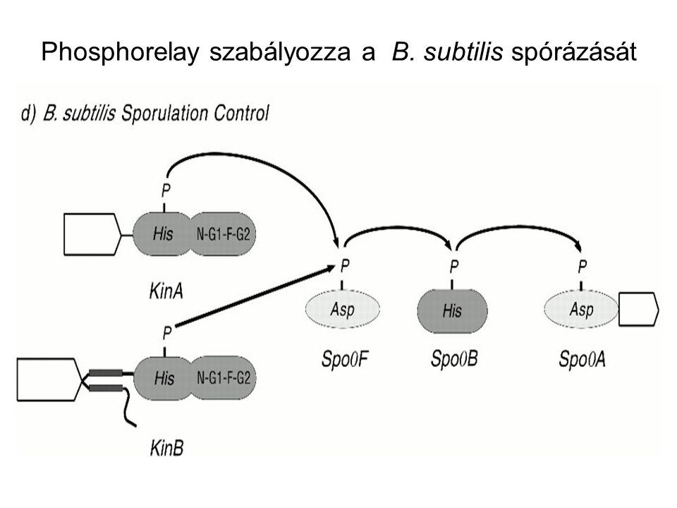 Phosphorelay szabályozza a B. subtilis spórázását