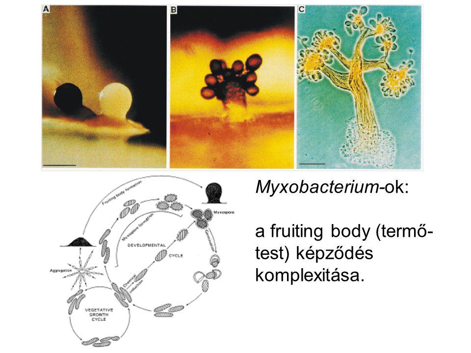 Myxobacterium-ok: a fruiting body (termő-test) képződés komplexitása.