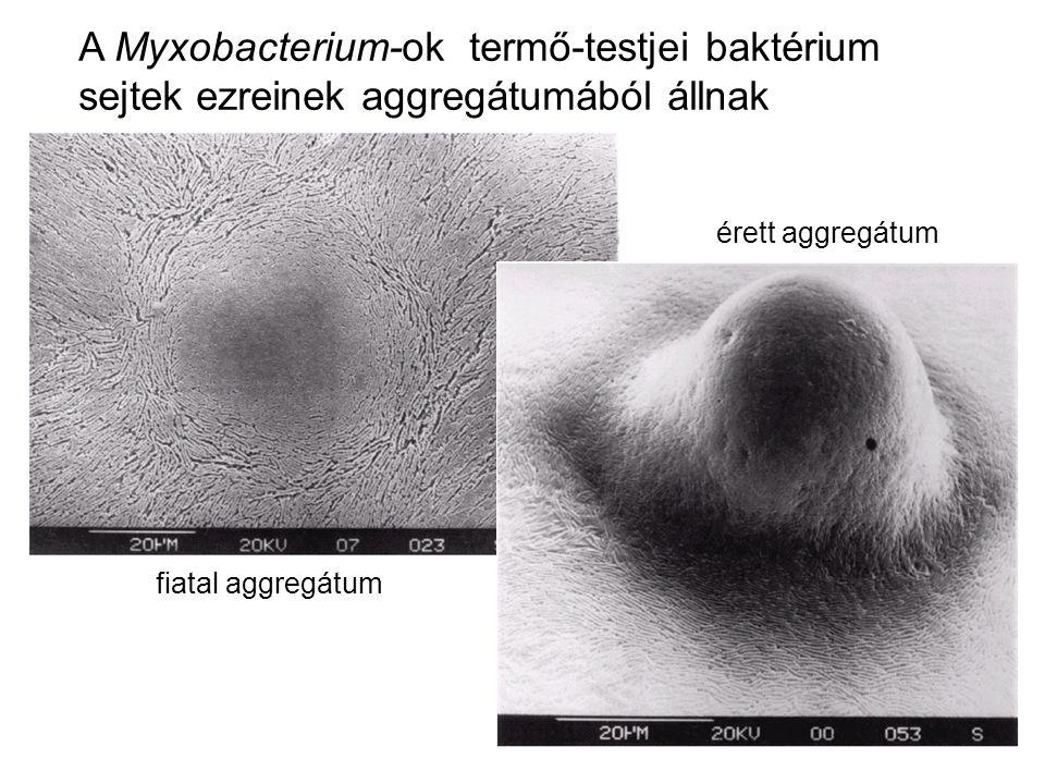 A Myxobacterium-ok termő-testjei baktérium sejtek ezreinek aggregátumából állnak
