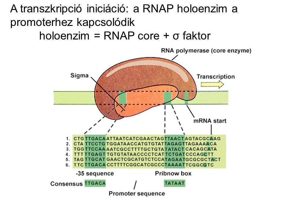 A transzkripció iniciáció: a RNAP holoenzim a promoterhez kapcsolódik