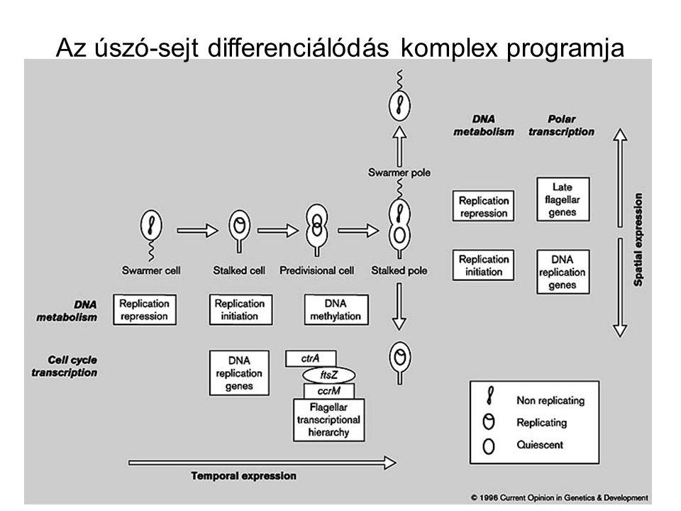 Az úszó-sejt differenciálódás komplex programja