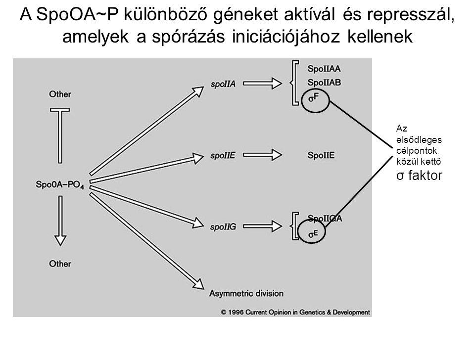 A SpoOA~P különböző géneket aktívál és represszál, amelyek a spórázás iniciációjához kellenek