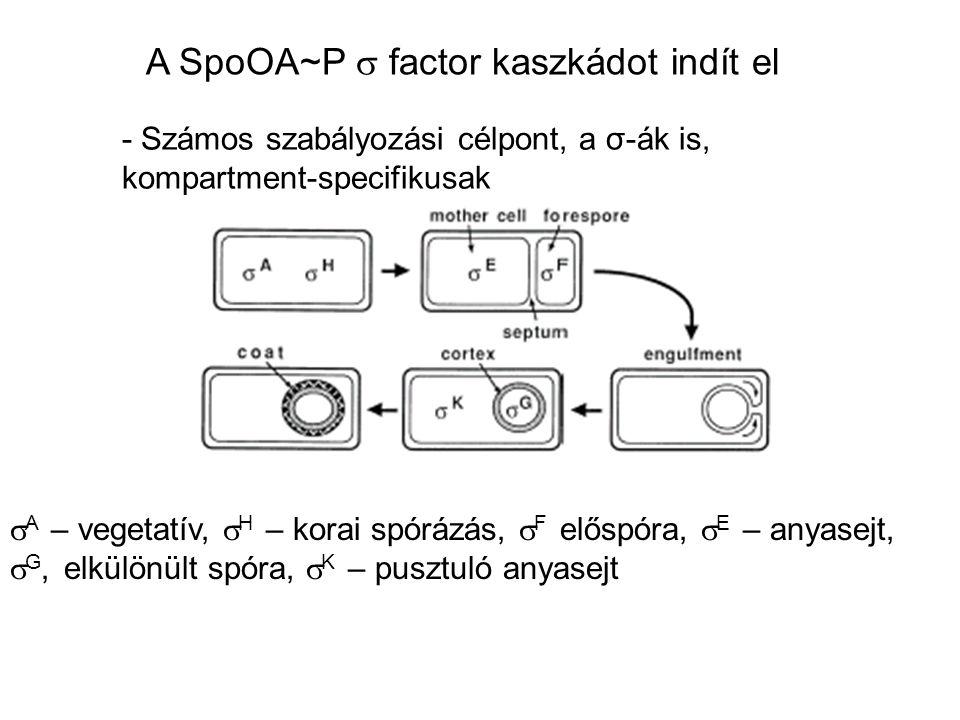 A SpoOA~P s factor kaszkádot indít el