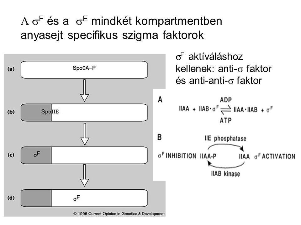 A sF és a sE mindkét kompartmentben anyasejt specifikus szigma faktorok