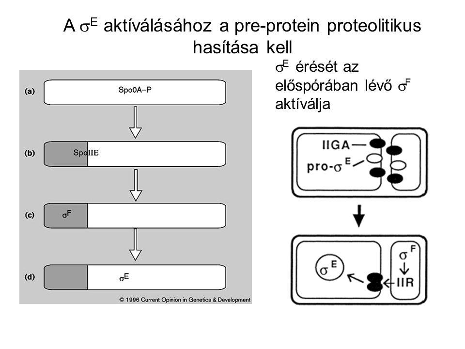 A sE aktíválásához a pre-protein proteolitikus hasítása kell