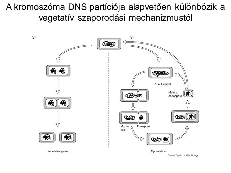 A kromoszóma DNS partíciója alapvetően különbözik a vegetatív szaporodási mechanizmustól