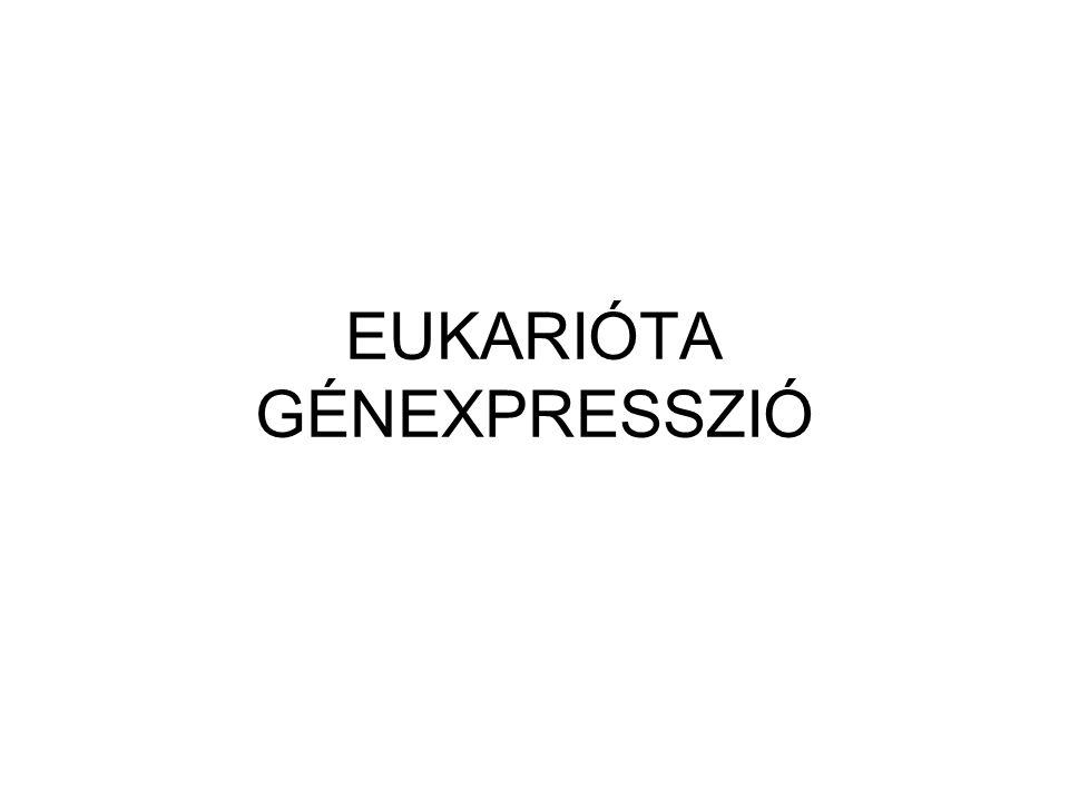 EUKARIÓTA GÉNEXPRESSZIÓ