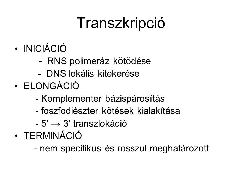 Transzkripció INICIÁCIÓ - RNS polimeráz kötödése