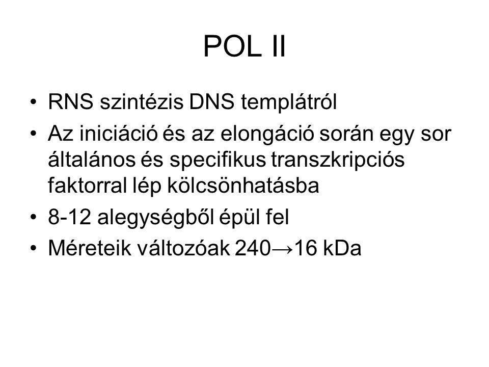 POL II RNS szintézis DNS templátról