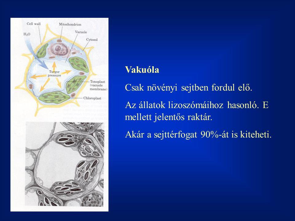 Vakuóla Csak növényi sejtben fordul elő. Az állatok lizoszómáihoz hasonló. E mellett jelentős raktár.