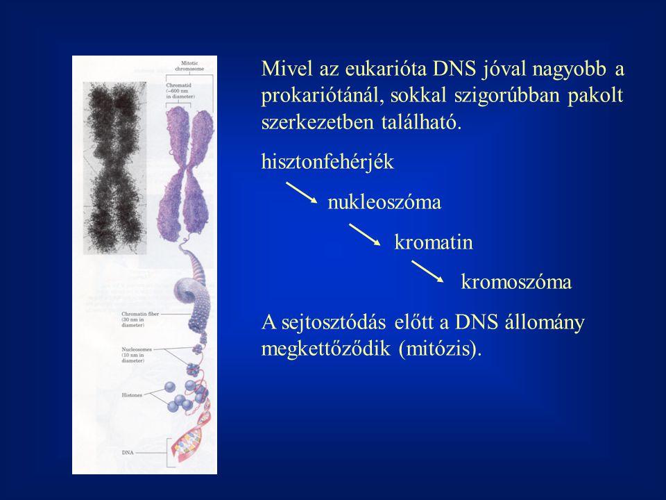 Mivel az eukarióta DNS jóval nagyobb a prokariótánál, sokkal szigorúbban pakolt szerkezetben található.