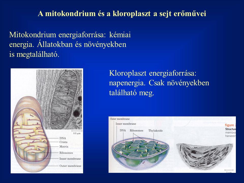 A mitokondrium és a kloroplaszt a sejt erőművei