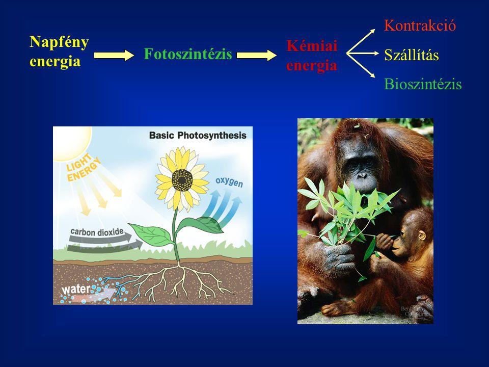 Kontrakció Szállítás Bioszintézis Napfény energia Kémiai energia Fotoszintézis