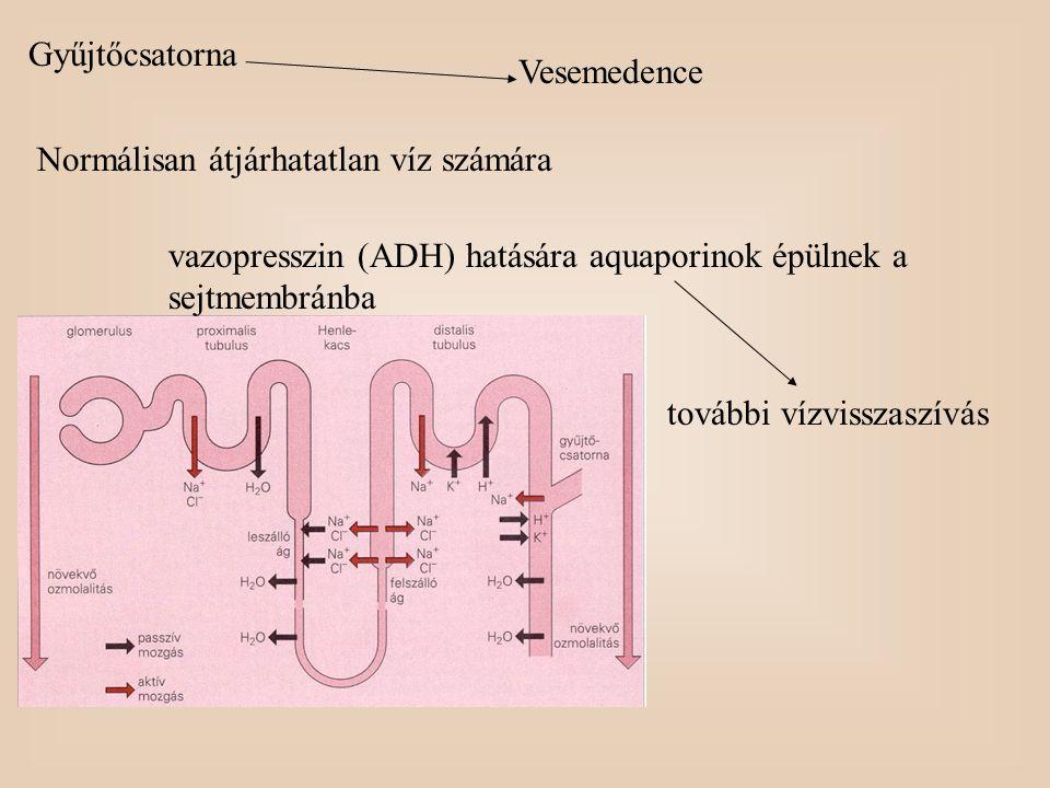 Gyűjtőcsatorna Vesemedence. Normálisan átjárhatatlan víz számára. vazopresszin (ADH) hatására aquaporinok épülnek a sejtmembránba.