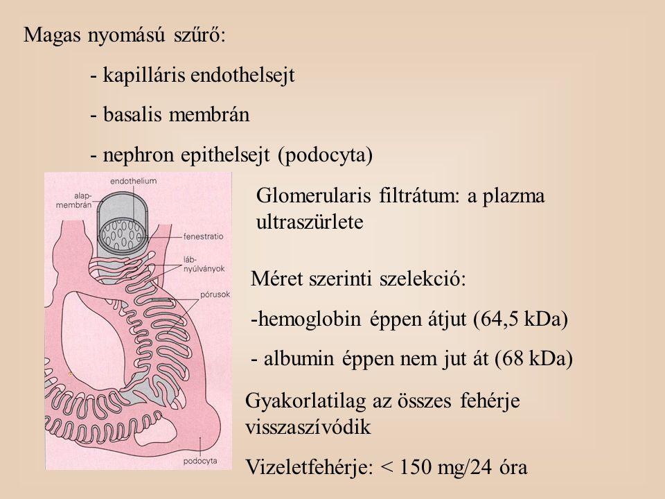 Magas nyomású szűrő: - kapilláris endothelsejt. - basalis membrán. - nephron epithelsejt (podocyta)