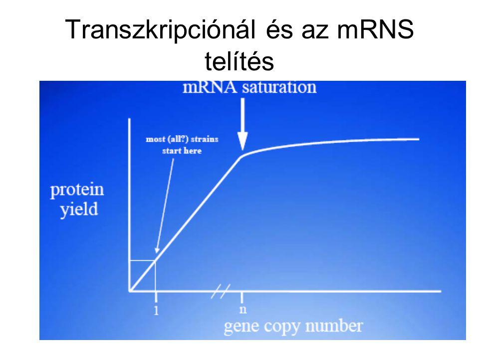 Transzkripciónál és az mRNS telítés