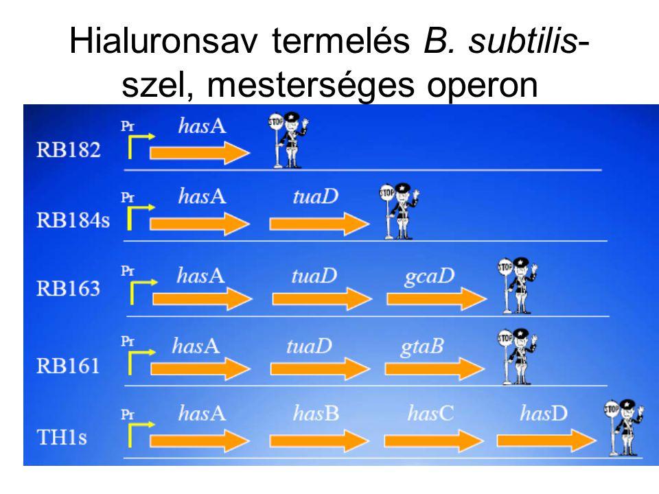 Hialuronsav termelés B. subtilis-szel, mesterséges operon
