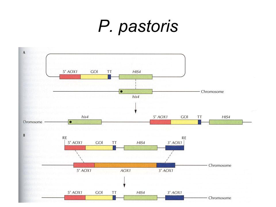 P. pastoris