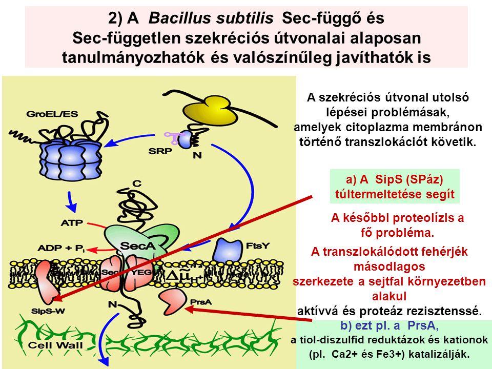 2) A Bacillus subtilis Sec-függő és Sec-független szekréciós útvonalai alaposan tanulmányozhatók és valószínűleg javíthatók is
