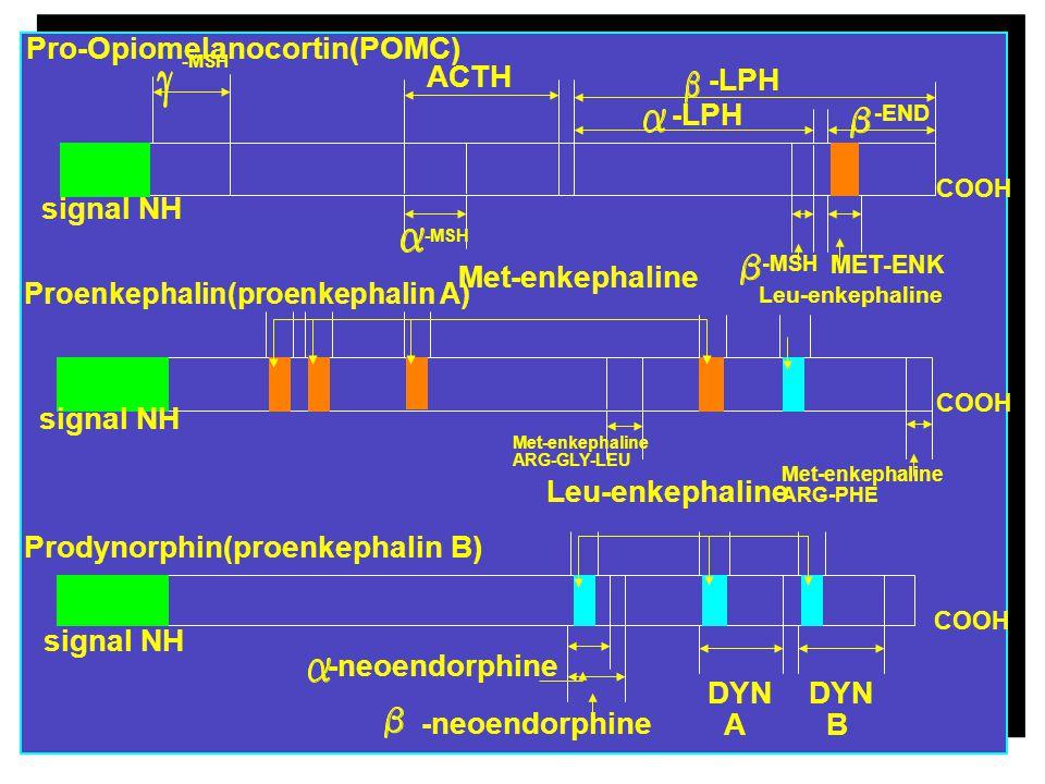 Pro-Opiomelanocortin(POMC) ACTH -LPH
