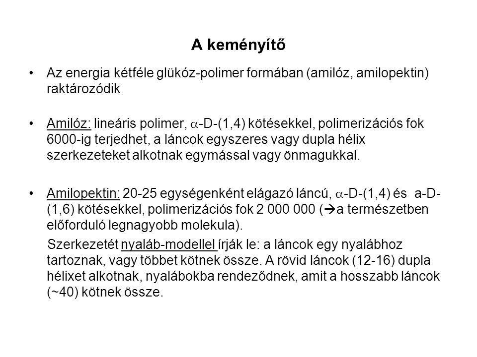 A keményítő Az energia kétféle glükóz-polimer formában (amilóz, amilopektin) raktározódik.