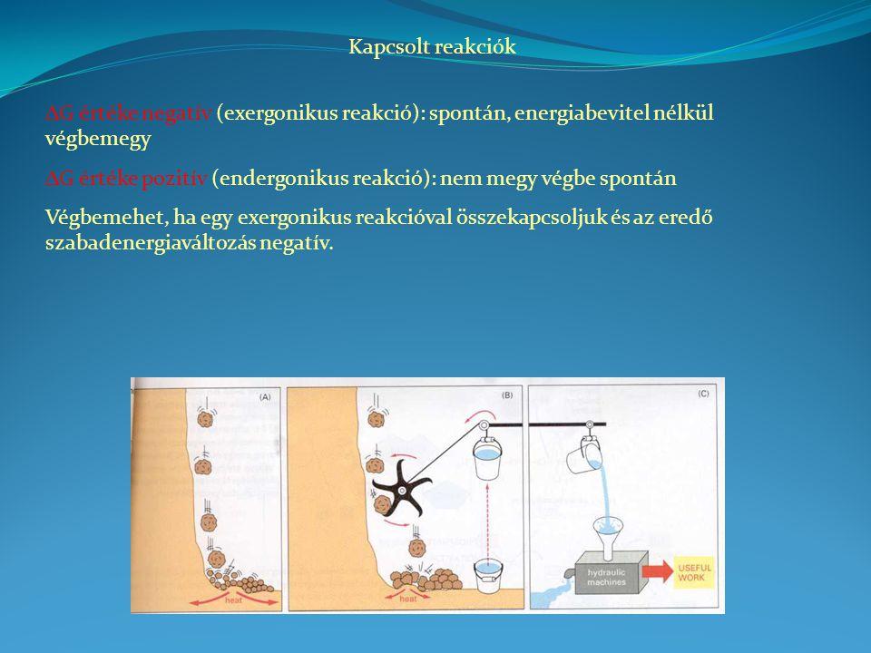 Kapcsolt reakciók DG értéke negatív (exergonikus reakció): spontán, energiabevitel nélkül végbemegy.
