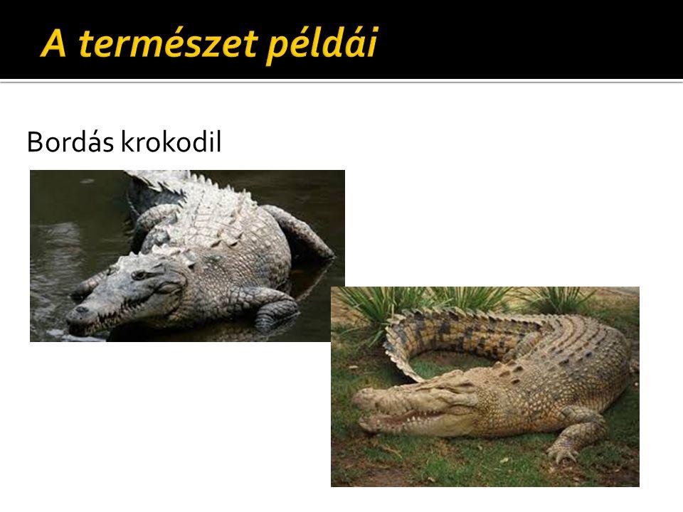A természet példái Bordás krokodil