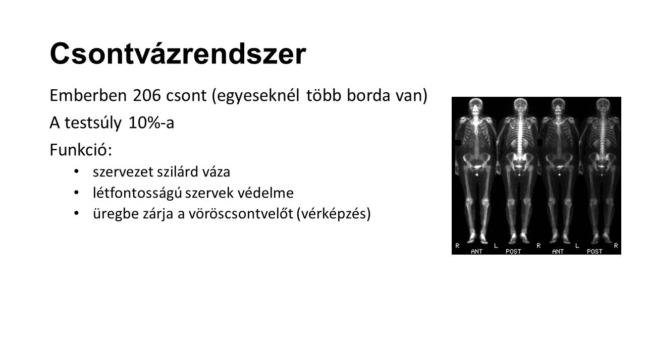 Csontvázrendszer Emberben 206 csont (egyeseknél több borda van)