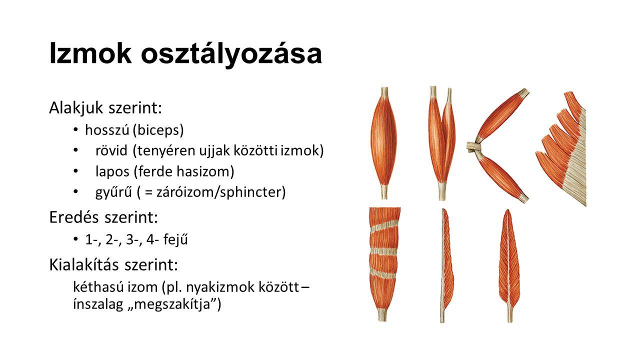 Izmok osztályozása Alakjuk szerint: Eredés szerint:
