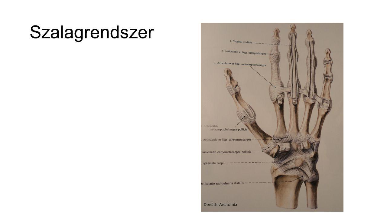 Szalagrendszer Donáth: Anatómia