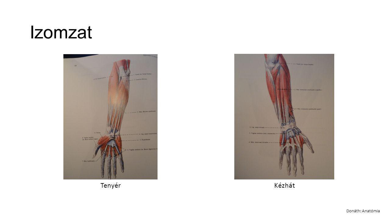 Izomzat Tenyér Kézhát Donáth: Anatómia