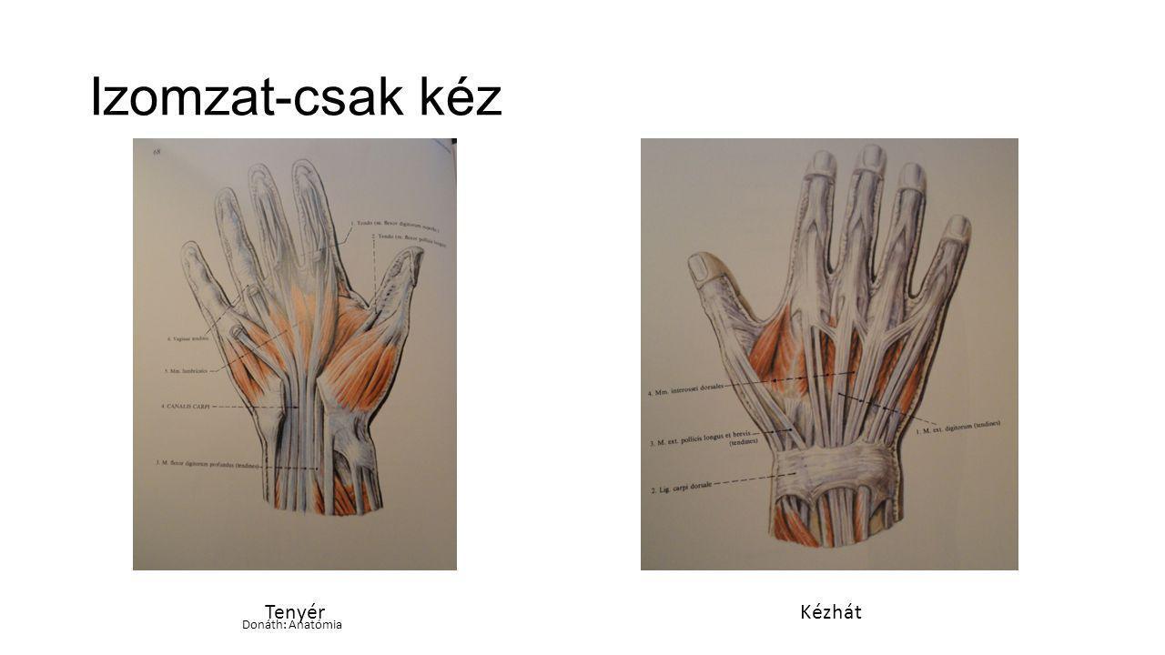 Izomzat-csak kéz Tenyér Kézhát Donáth: Anatómia