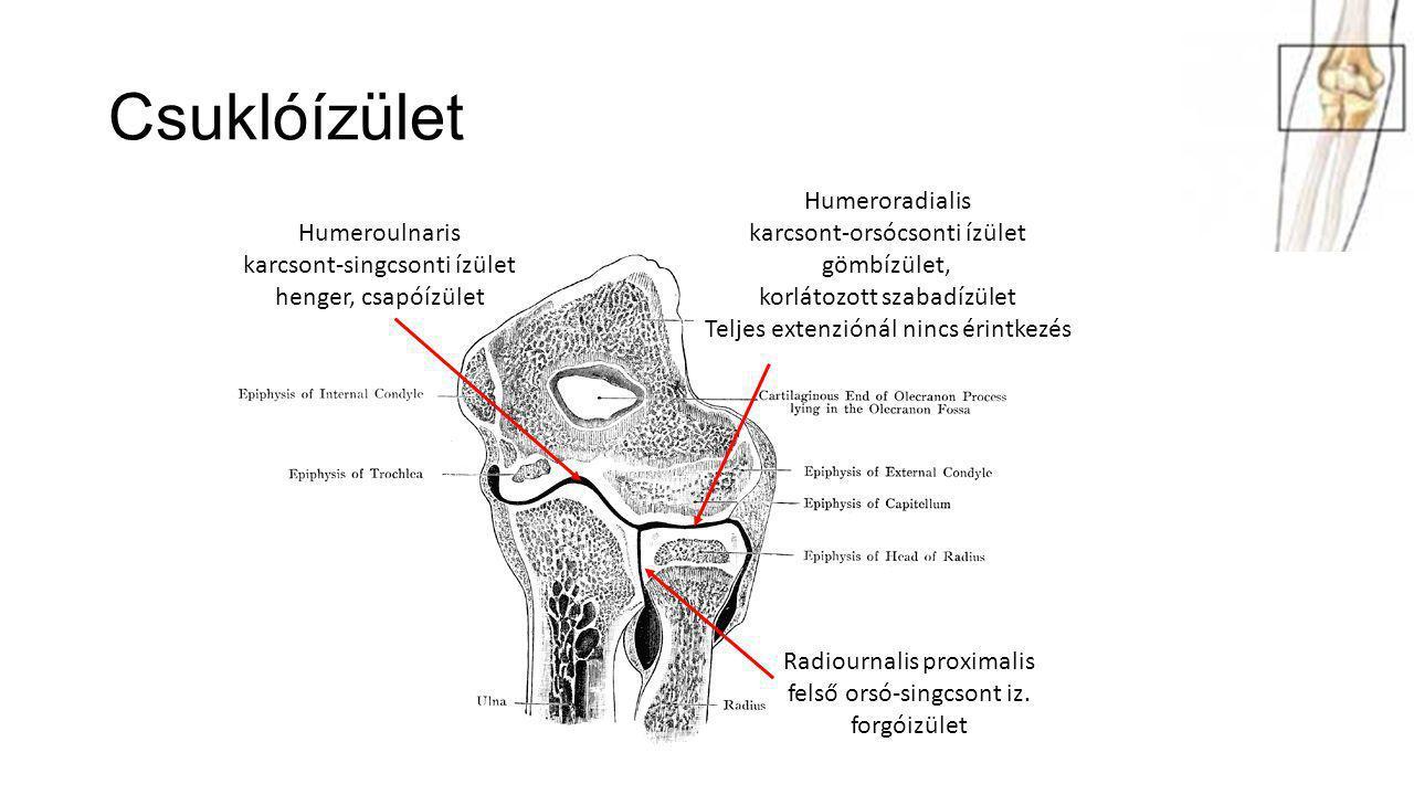Csuklóízület Humeroradialis karcsont-orsócsonti ízület gömbízület,